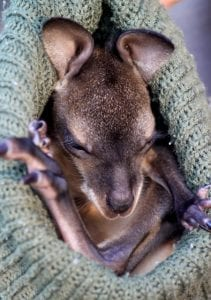Wally the orphaned Bennett's Wallaby joey