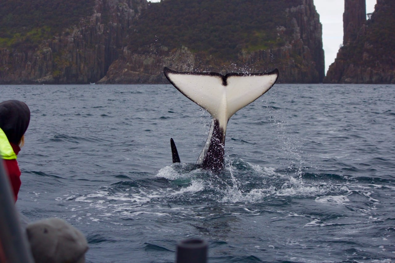 Killer Whale Fluke
