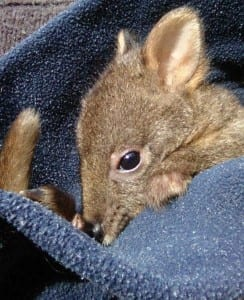 Wallaby baby in its pouch.
