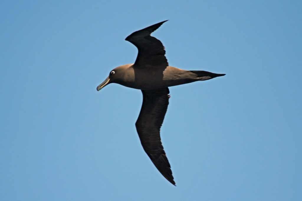 Sooty Albatross, Tasmania