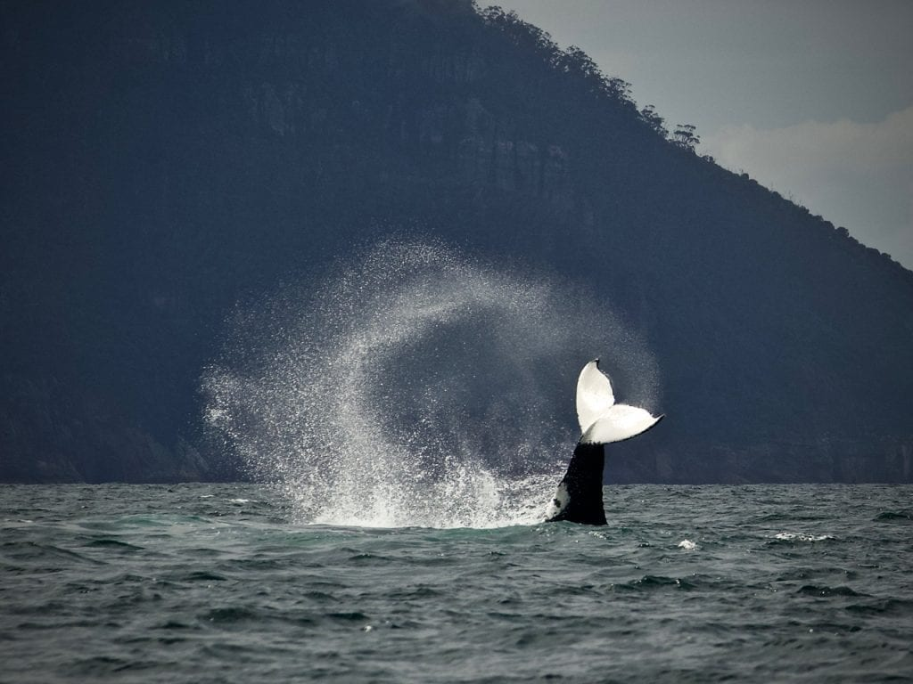 A tail-slapping Humpback Whale in Tasmanian waters