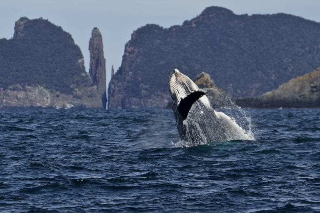 Whale watching at home in Tasmania