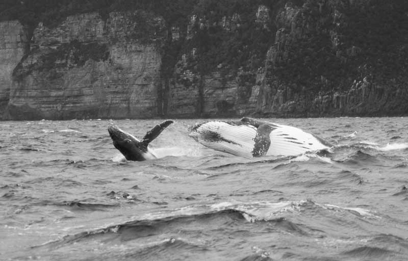 A mother Humpback Whale and calf breaching.
