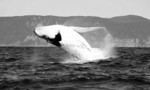 Humpback Whale breaching in Tasman Sea