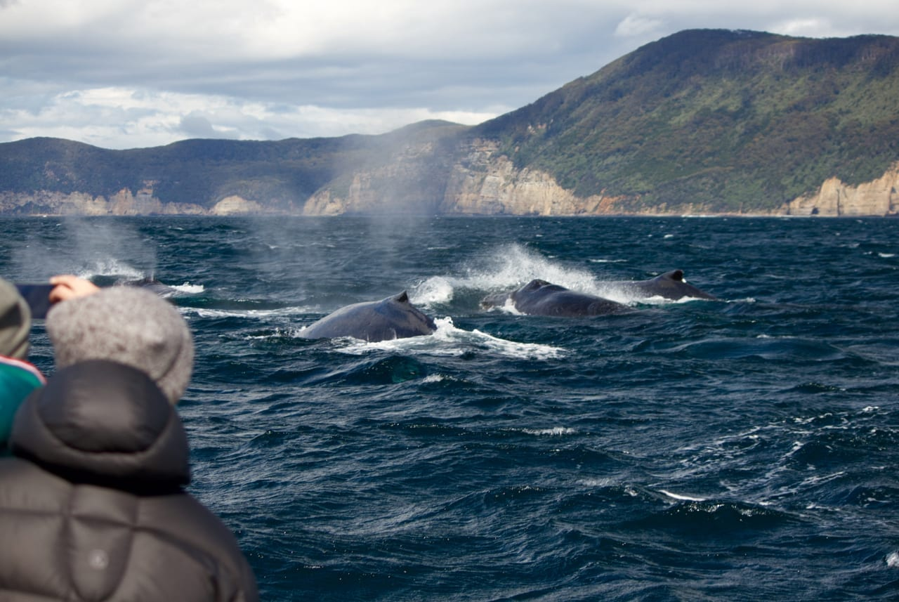 Four whales steaming past our boat.