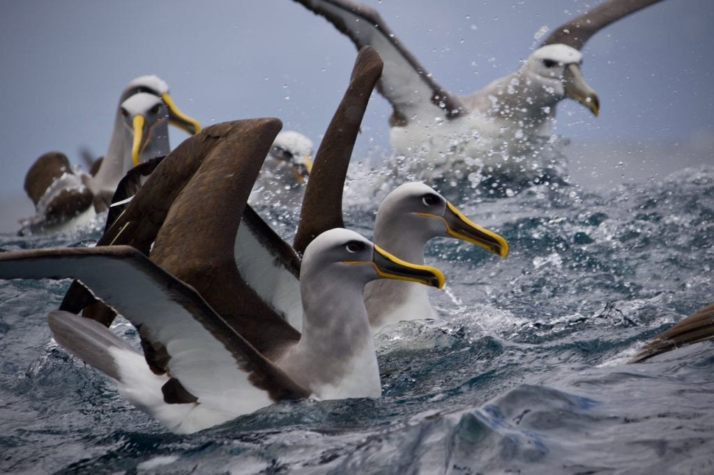 Hungry Albatrosses above a bait ball.