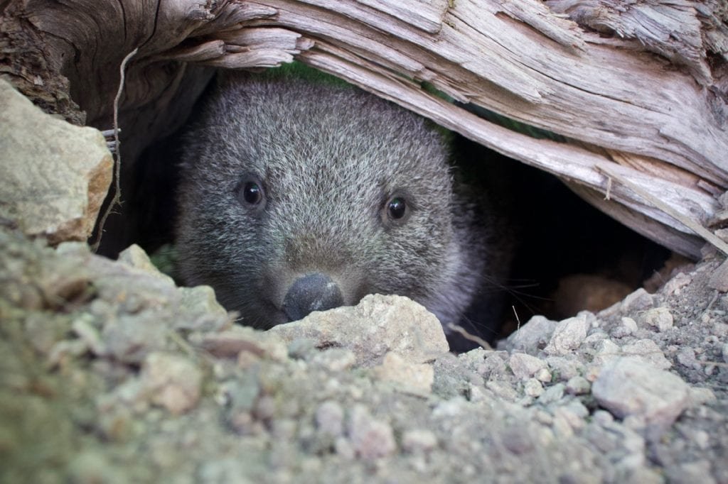 Baby Wombat making herself at home in the new burrow