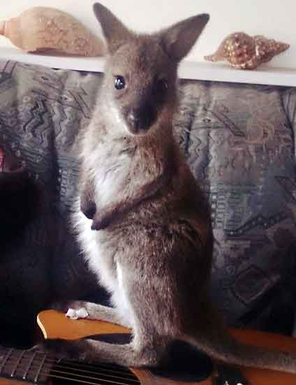 Bennett's wallaby joey in rehabilitation.