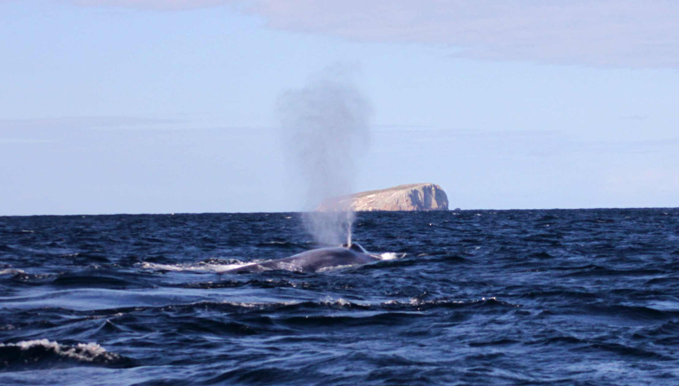 Blow of a Blue Whale