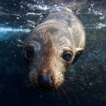 Whisker to whisker to a long-nosed fur seal pup.