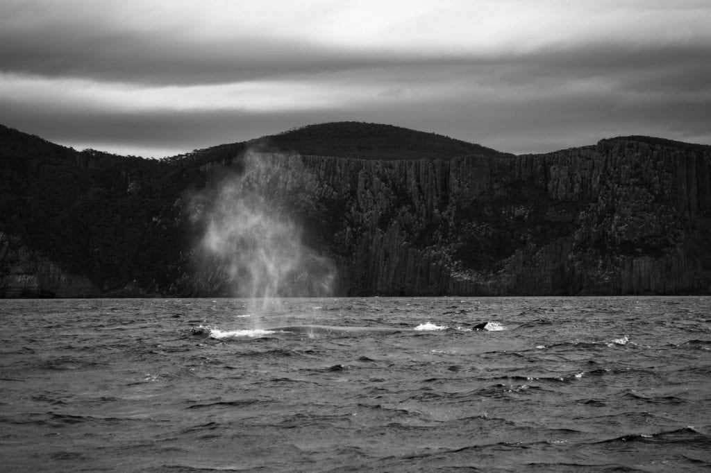 Bushy blow of a Sei Whale