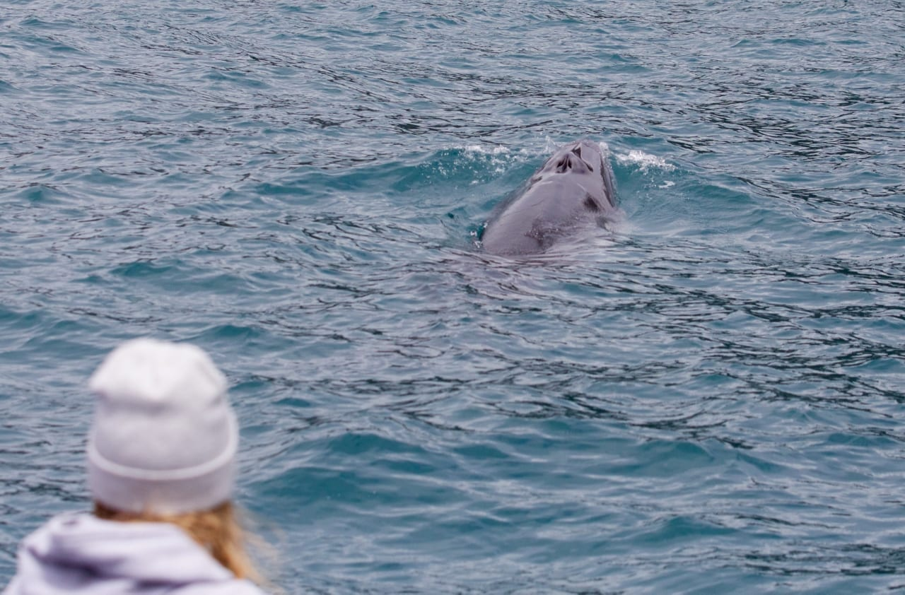 Close encounter with Dwarf Minke Whale