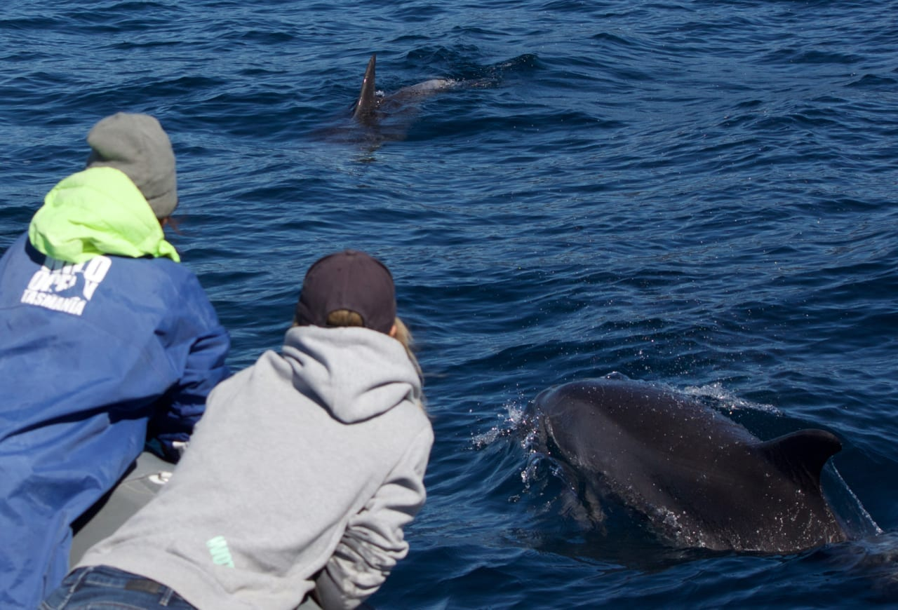 Dolphin Watching in Tasmania