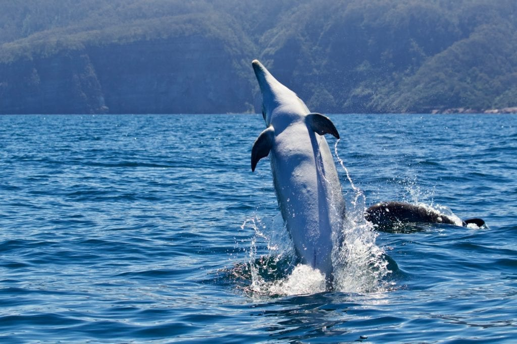 Bottlenose Dolphin doing a backflip.