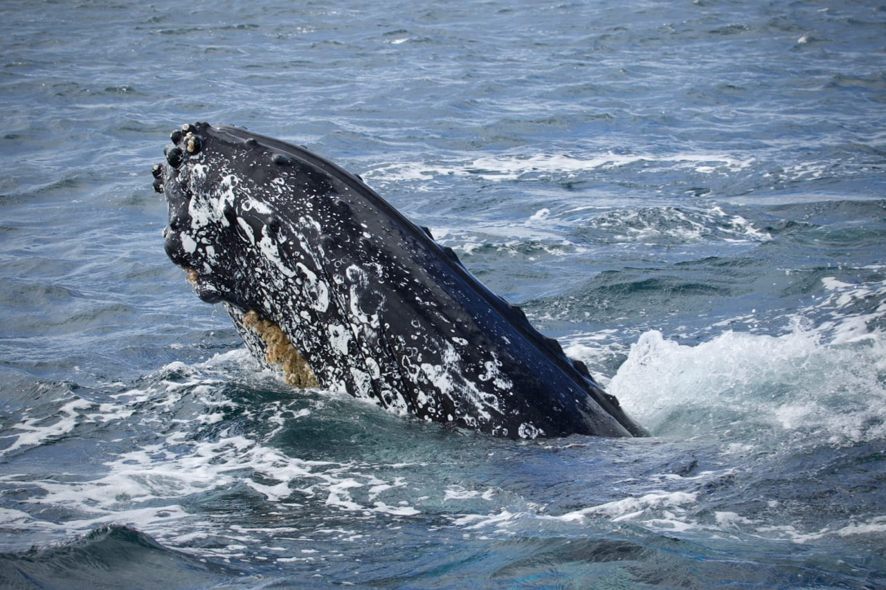Entangled Humpback spy hopping next to the vessel