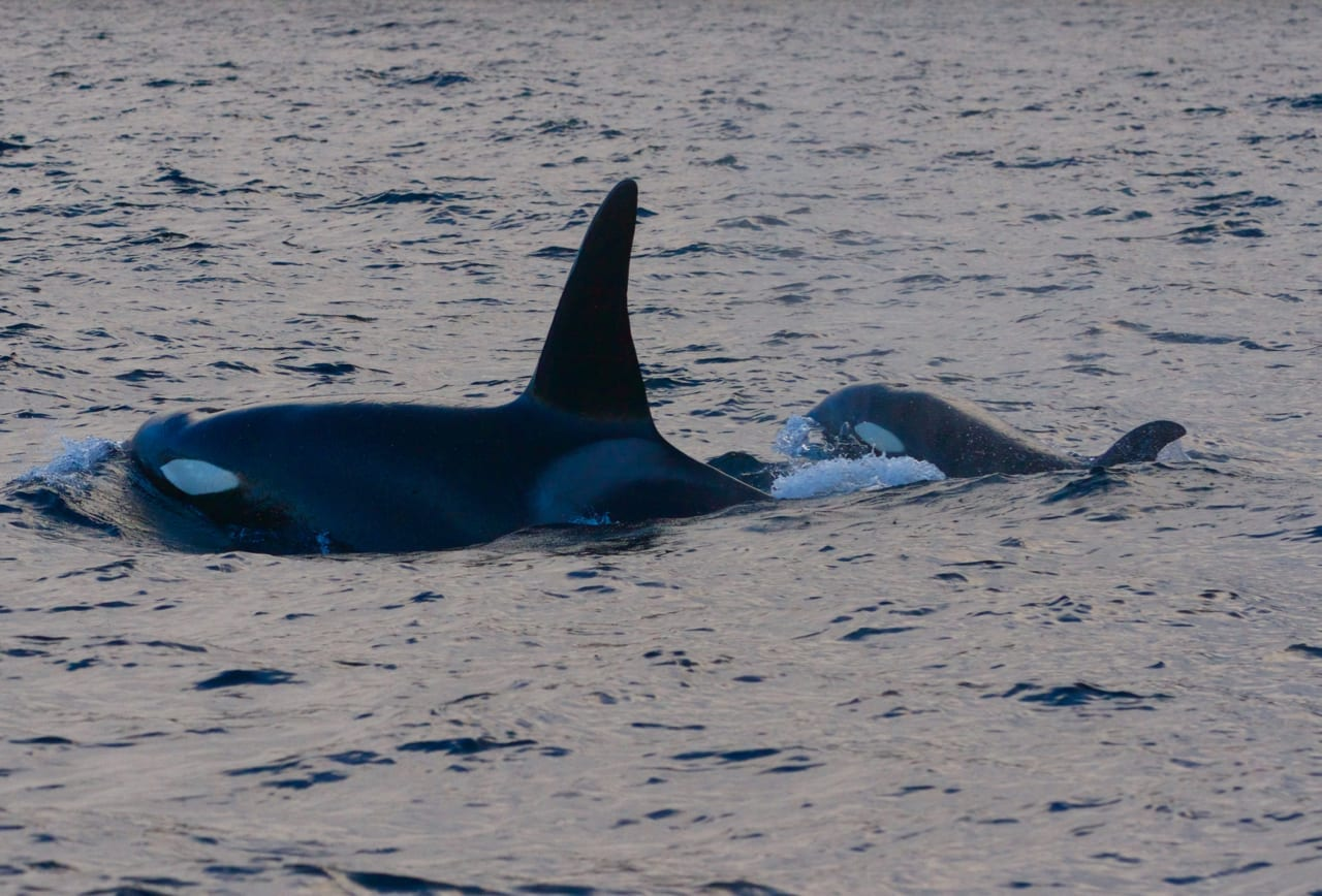 A mature male Killer Whale with a calf.