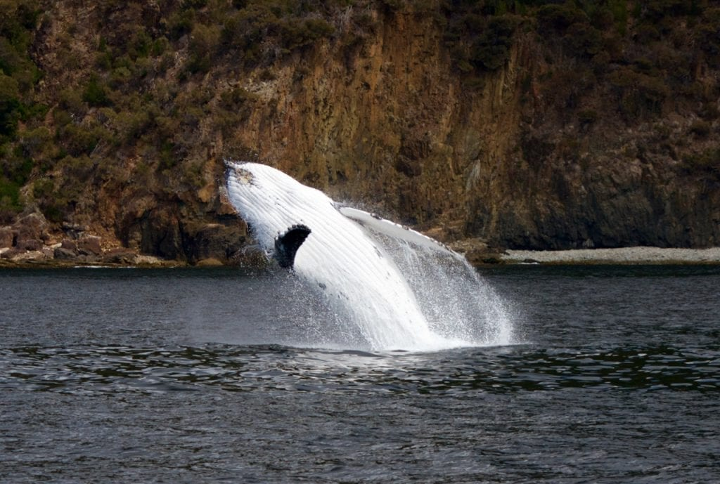This migration season, we've often seen mother and calf Humpback Whale very close to the coast. The calves have been putting on a show for us this year and treated us with lots of acrobatic breaches.