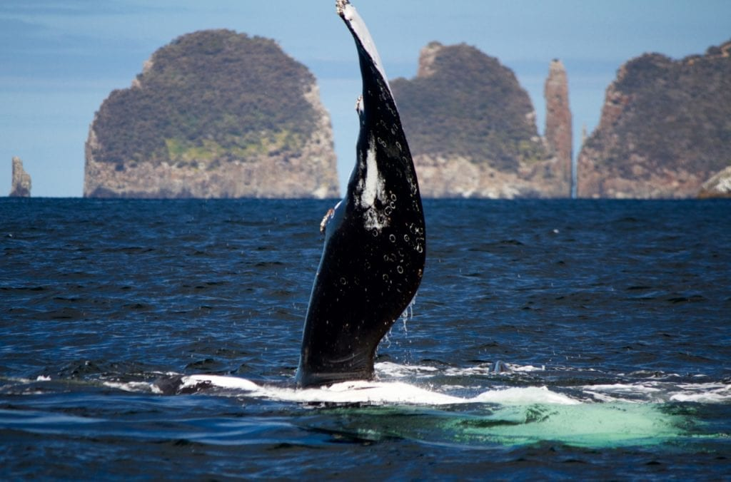 Pectoral Slapping of a Humpback Whale