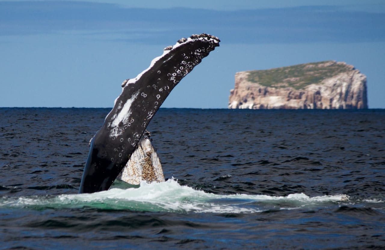 Humpback Whale calf spyhopping behind mums large flipper
