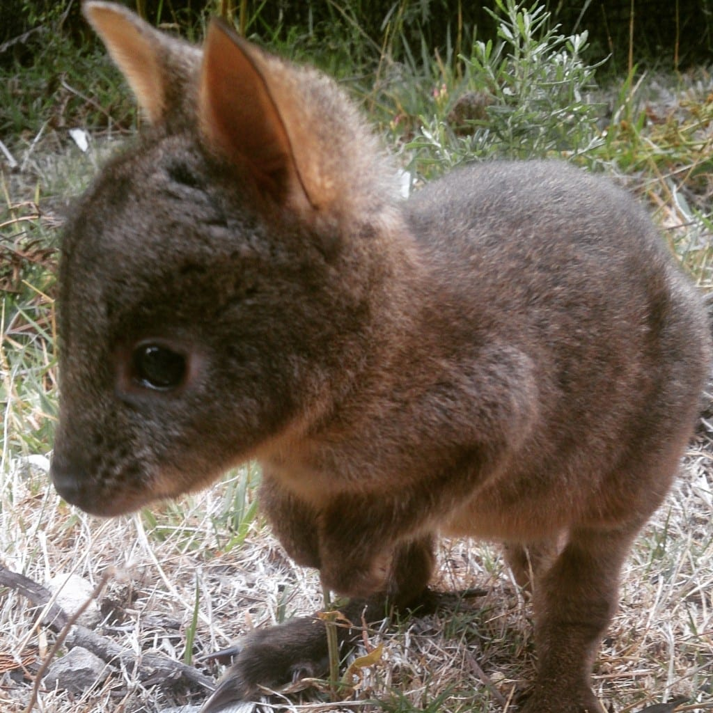 Orphaned pademelon Paddy getting used to being outside.