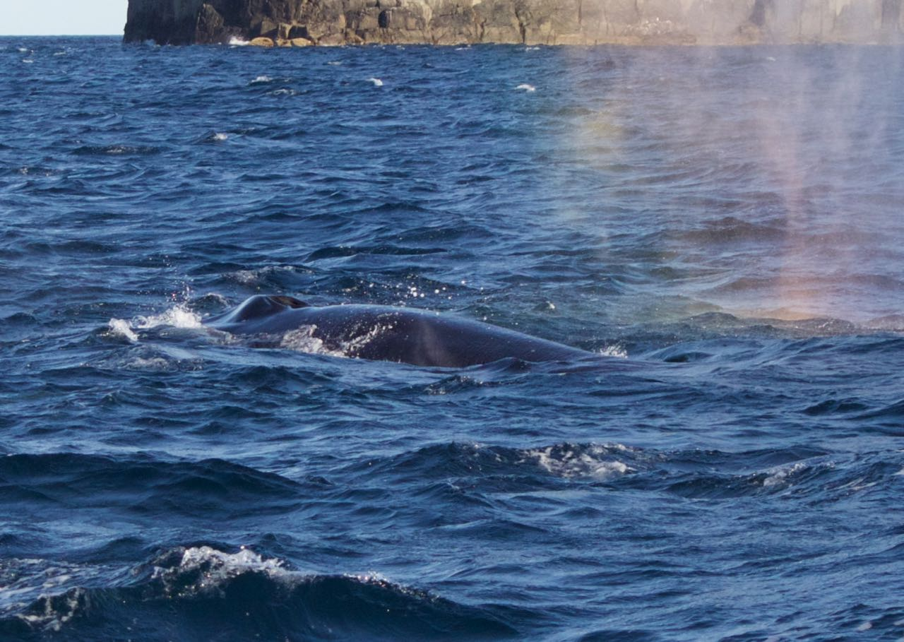 Blowholes of a Fin Whale