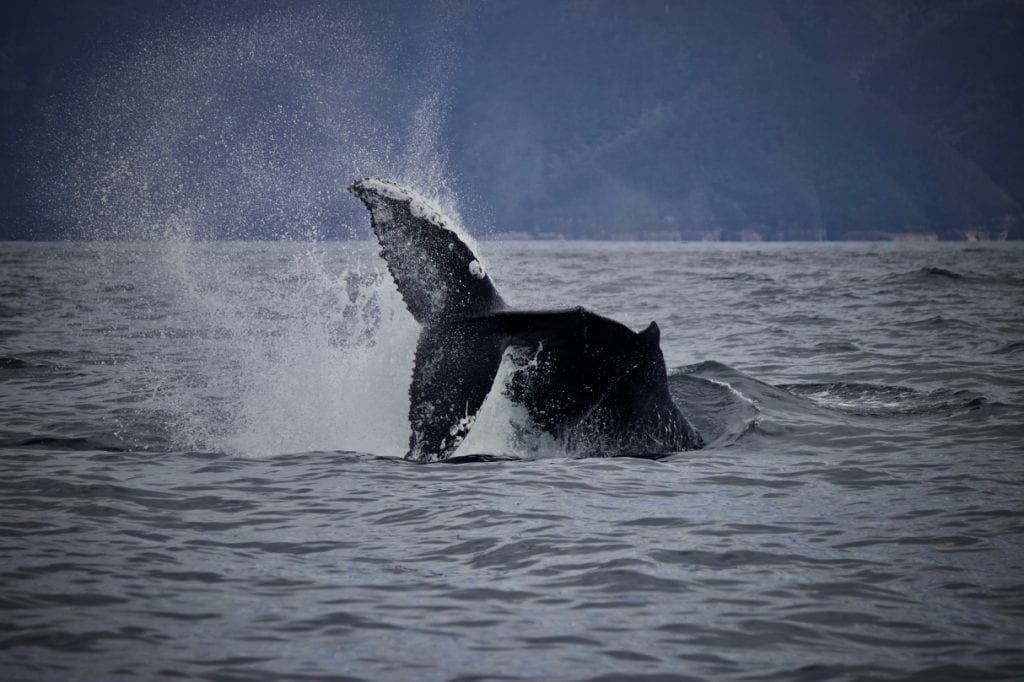 A powerful peduncle throw performed by a Humpback Whale on tour with Wild Ocean Tasmania