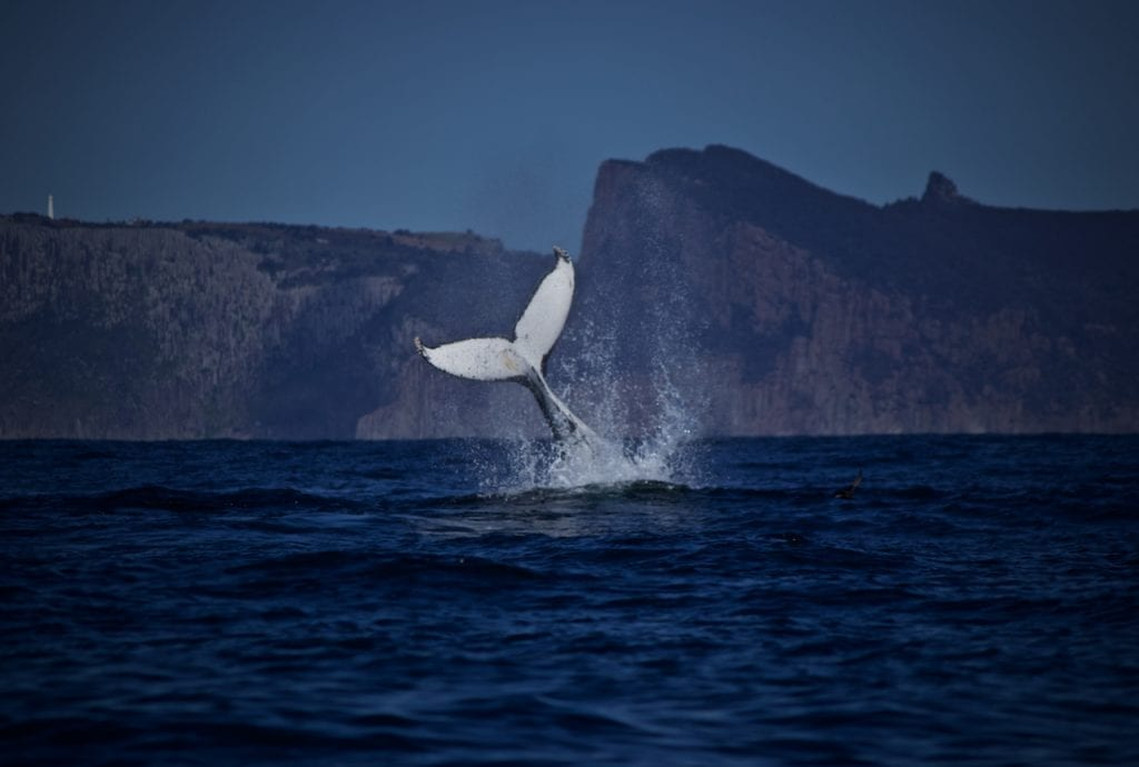 A Humpback Whale slapping its tail in front of Tasman Island