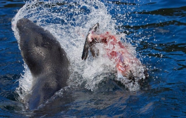 Leopard Seal feeding on a Black-Faced Cormorant
