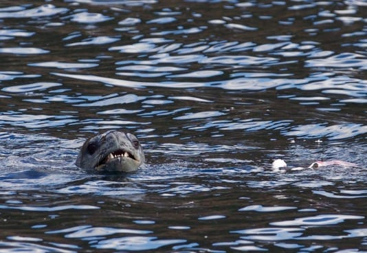 Leopard Seal and Prey