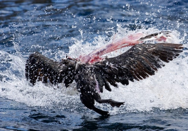 Leopard Seal throwing dead Cormorant