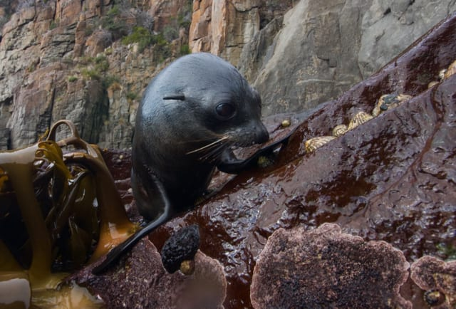 Tiny fur seal pup resting on the rocks.