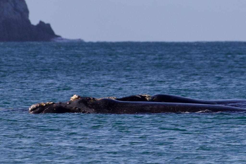 Mum & Calf Southern Right Whale resting in Fortescue Bay