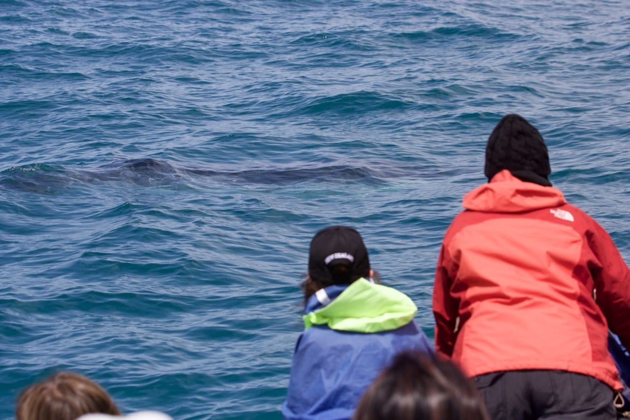 Observing the inquisitive Dwarf Minke Whale.