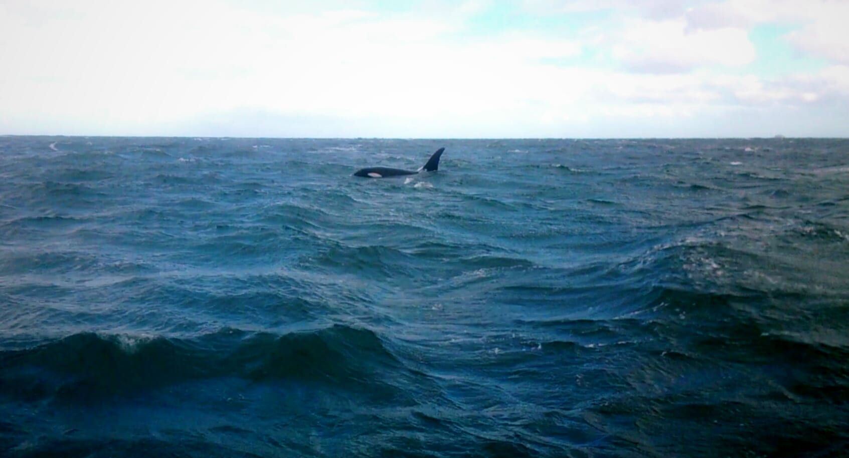 Killer Whale spotted in Tasmania