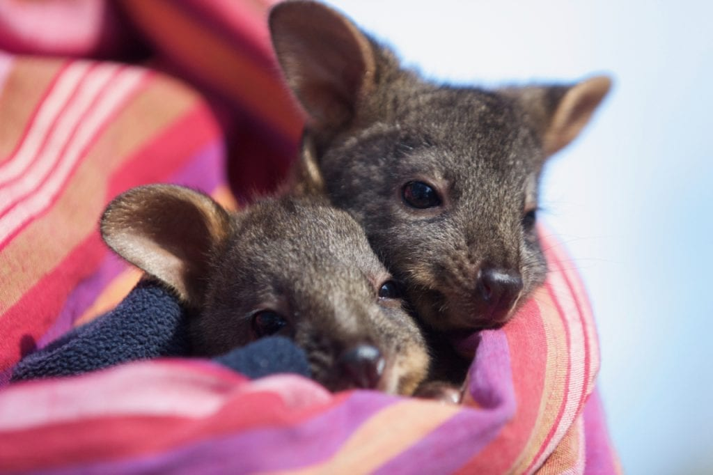 Orphaned Pademelon joeys