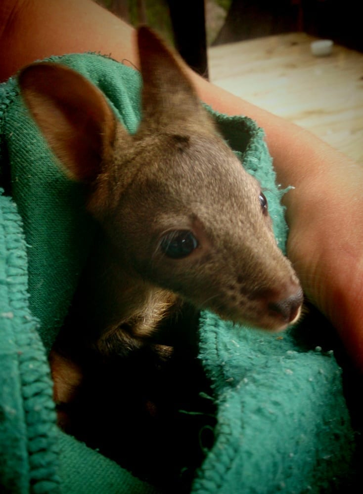Pademelon joey