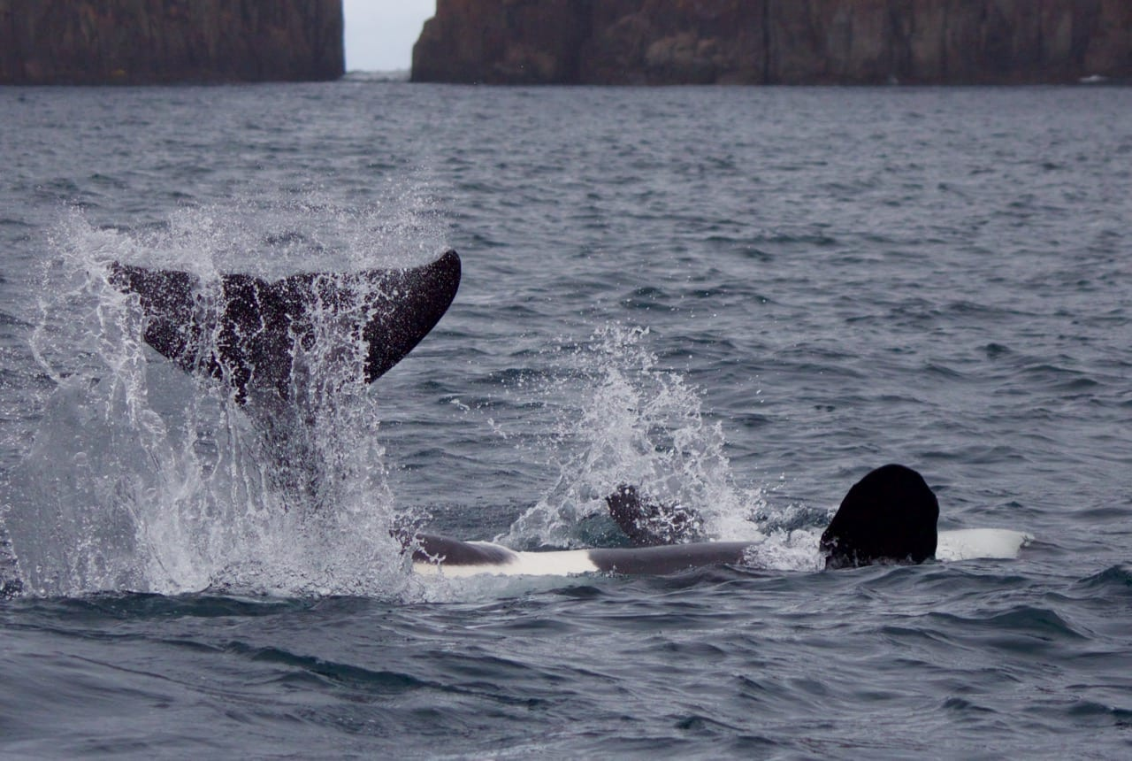 Orca playing off Tasmania's east coast