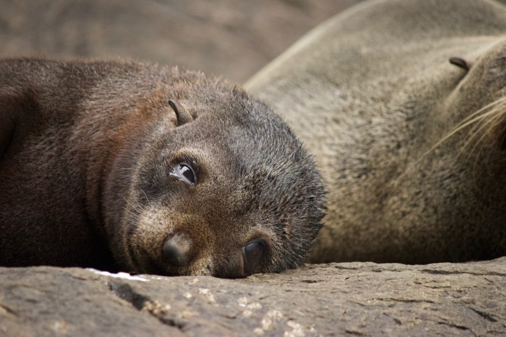 A sleepy seal pup.
