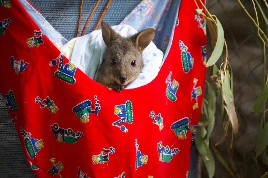 A Wallaby joey in a donated pouch.