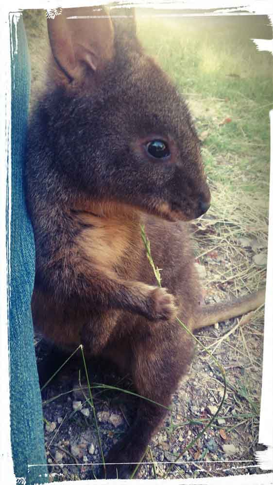 Wallaby release