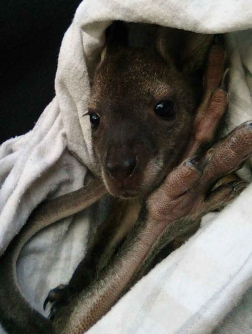 wallaby joey in wildlife rehab centre