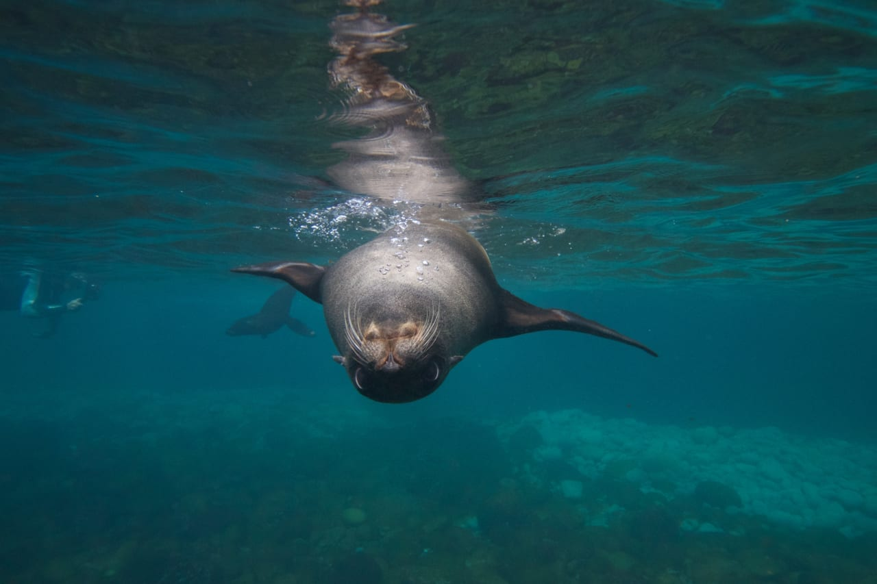 Seal swims upside down towards the camera.