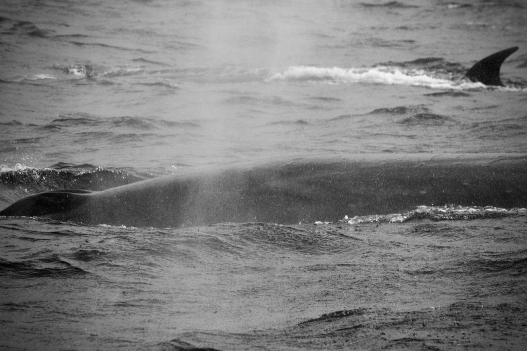 Two Sei Whales side by side