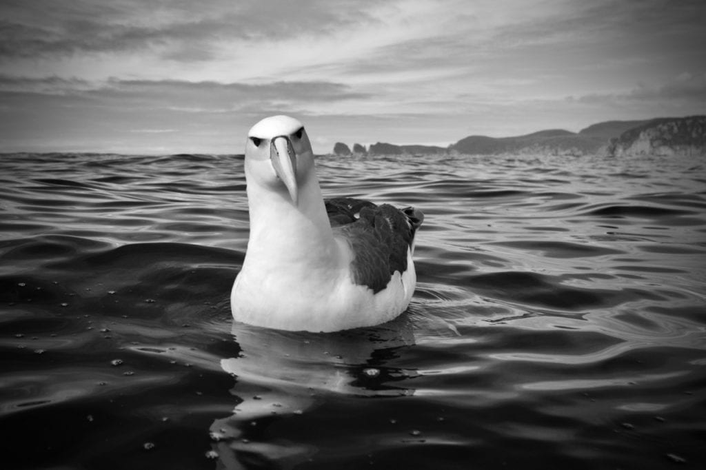 An endangered Shy Albatross sitting on the water.