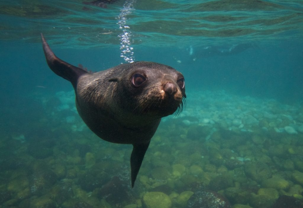 Snorkelling with seals in Tasmania
