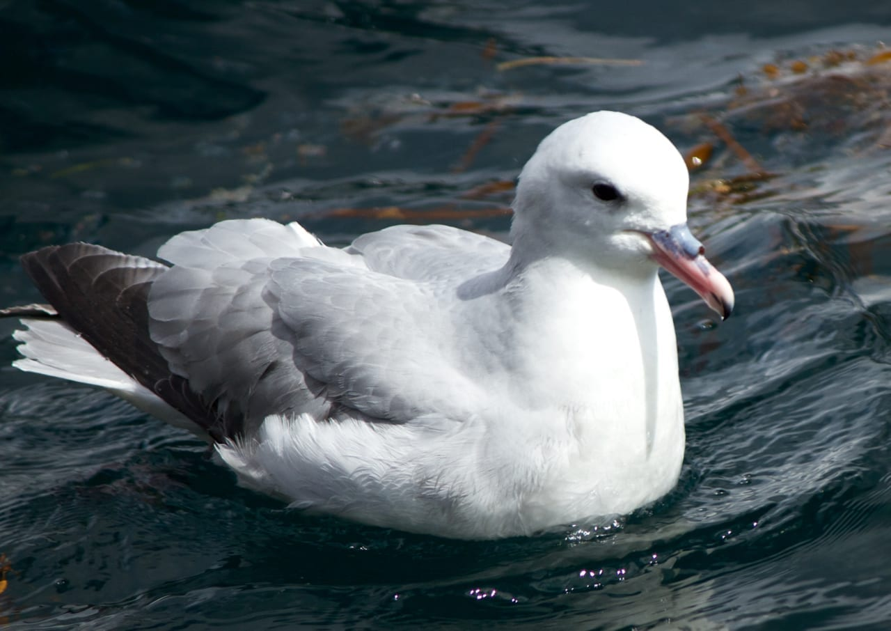 Southern Fulmar resting on the water