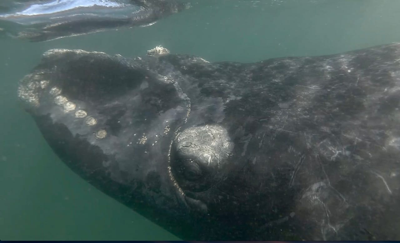 The eye of a baby Southern Right Whale underwater
