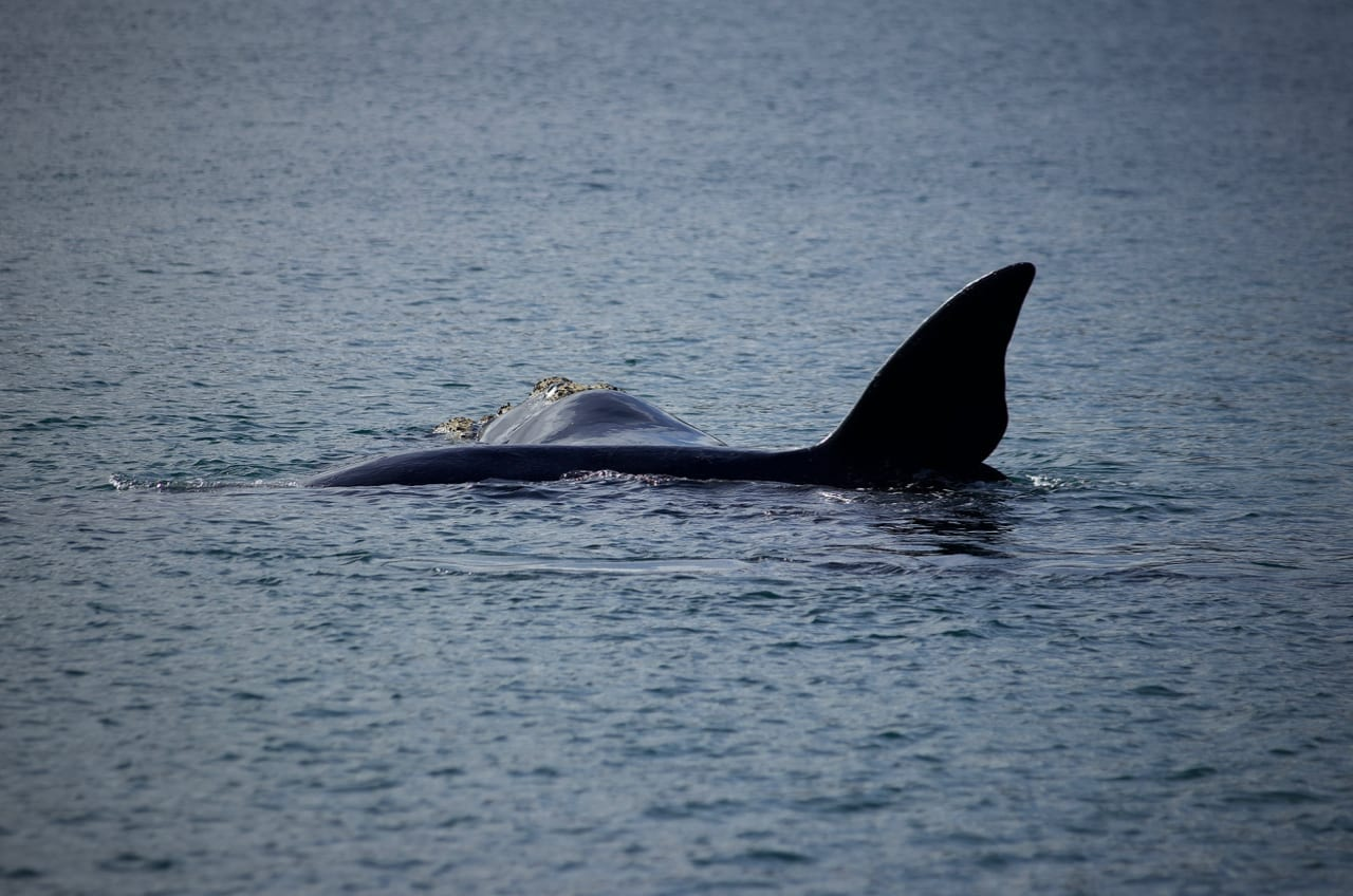 Southern Right Whale carrying its her calf