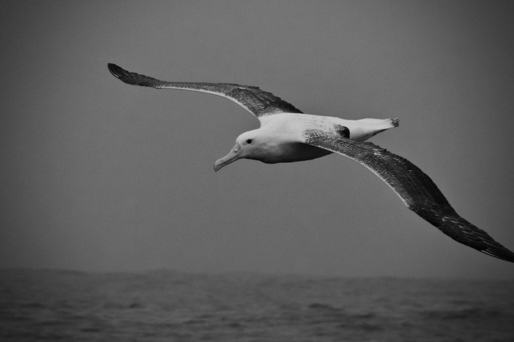Southern Royal Albatross appears in the sea fog