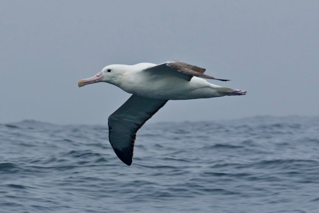 Southern Royal Albatross inshore in Tasmania